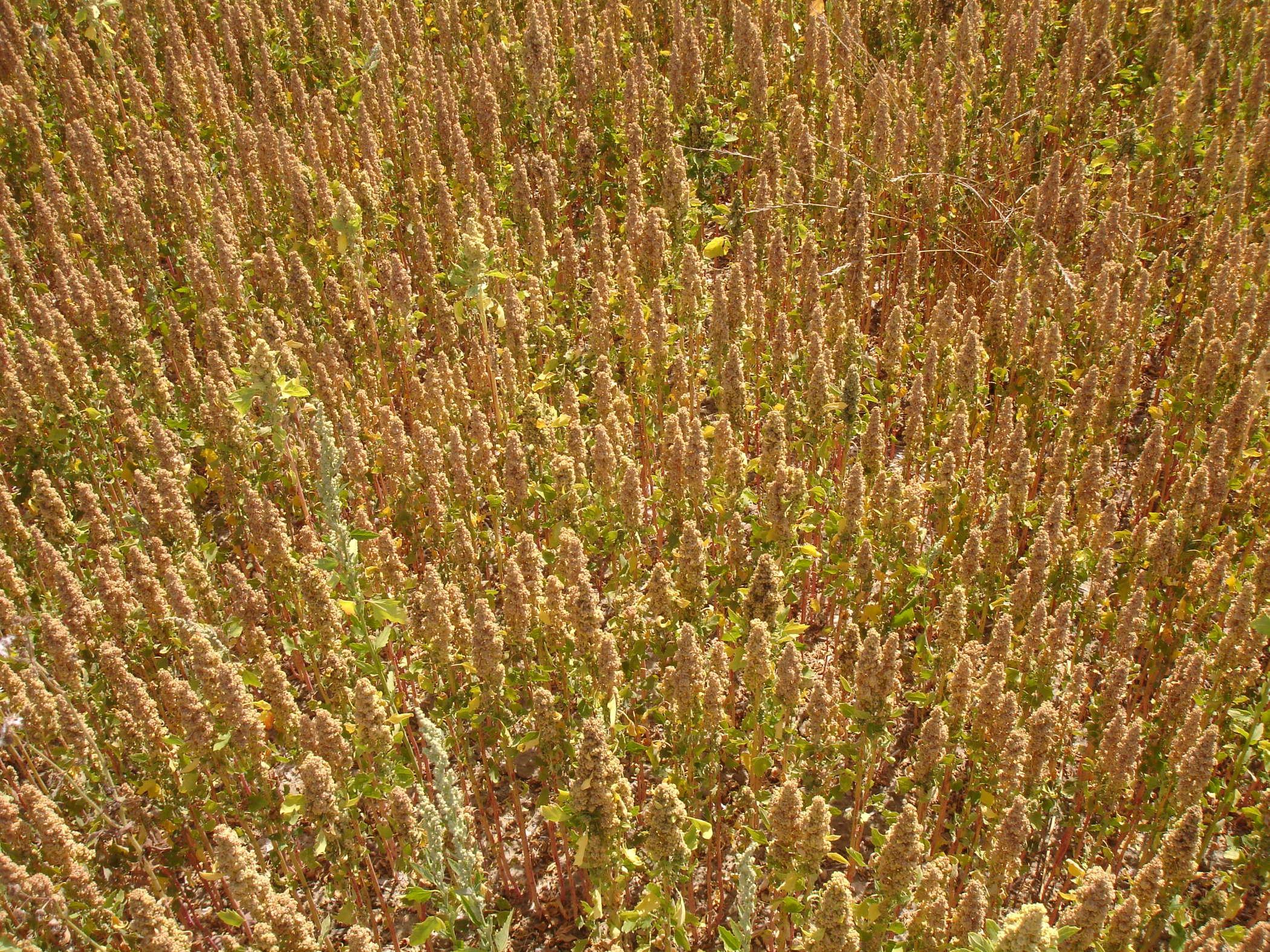 Quinoa d'Anjou, la filière 100% française